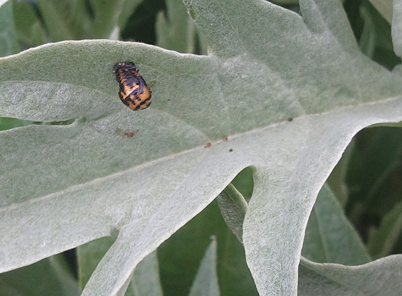 Lady Beetle (Coccinellidae) pupa